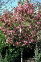 Apple-tree decorative