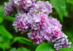 The lilac is ordinary, hybrid, grades
