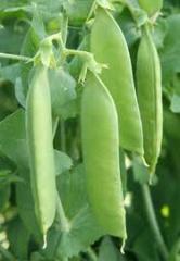 Горох овощной, зеленый, другие бобовые культуры в