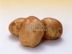 Картофель семенной, посадочный