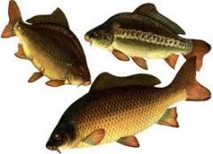 Карп, личинка, рыбопосадочный материал