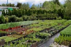 Материал посадочный лиственных вечнозелёных