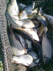 Рыбопосадочный материал карп, б/амур, толстолобик,