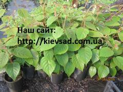Kiwi saplings in the container two-year-old