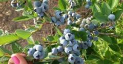 Саджанці багаторічних рослин