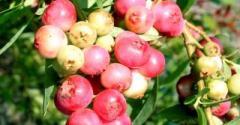 Blueberry saplings in cartridges, grades Duke,