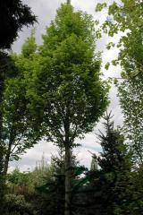 Граб обыкновенный 'Frans Fontaine'  — Carpinus