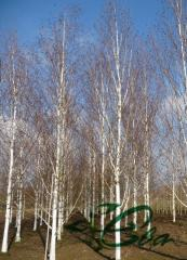 Birch ordinary, belokory, Zhakmana useful