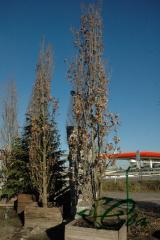 Oak chereshchaty kolonovidny