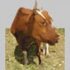 Buy BVD for Shen Buls's KRS of 10% for