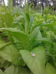 Семена табака - сортотип Вирджиний.