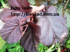 Саженцы фундука сорт Сирена краснолистный