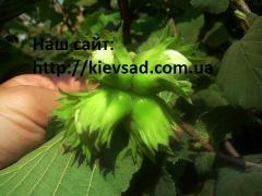 Filbert saplings
