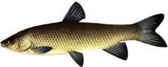 Белый Амур, длина до 120 см, масса до 32 кг,
