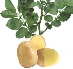 Картофель семенной Melody (Мелодия)