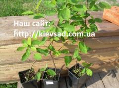 Саженцы ирги сорт Honeywood