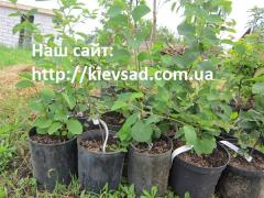 Mespilus saplings in the container