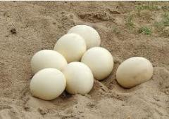 Eggs ostrich's