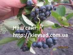 Aroniya saplings (black-fruited mountain ash)