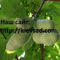 Pawpaw saplings