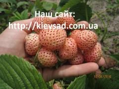 Strawberry saplings Anablank's grade (in the...