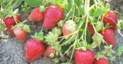 Strawberry saplings a grade the White Swede (in