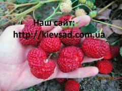 Strawberry saplings Mitse Nova's grade