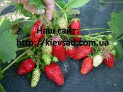 Strawberry saplings a grade Marvellous (over...