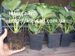Strawberry saplings in the container of...