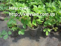 Wild strawberry saplings in the container