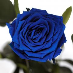 Dolgosvezhy rose of FLORICH blue sapphire 7th