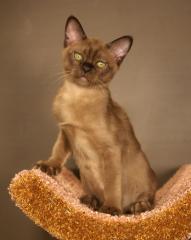 Бурманские котята (бурма) Европейского типа от