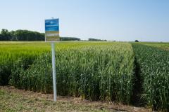 Пшеница яровая Ранняя 93