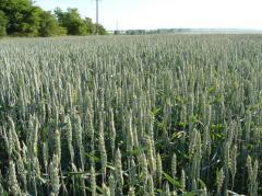 Пшеница Леннокс 1 репродукция (двуручка) посевной материал