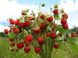 Wild strawberry saplings to buy wild strawberry