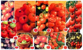 Seeds of tomatoes to buy seeds of tomatoes, the