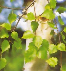 Sadzonki brzozy