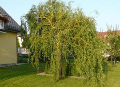Sadzonki drzew liściastych
