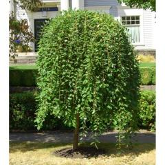 Seedlings of deciduous trees