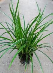 The wistaria obilnotsvetushchy Is nude Noda -