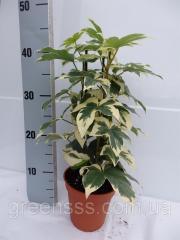 Calathea shafranny Tasmania - Calathea crocata