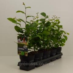 Wistaria Prolifik - Wisteria Prolific P16/H75 1