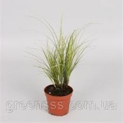 Wistaria Prolifik - Wisteria Prolific P15/H65