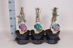 Grapes maiden triostrenny Vich - Parthenocissus
