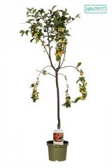 Яблоня домашняя -- Malus x dome.  P26/H180  1