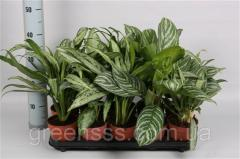 Аглаонема микс -- Aglaonema mixed  P12/H35