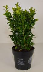 Hyacinth east White Pearl - Hyacinthus orientalis