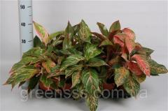 Аглаонема микс -- Aglaonema mixed  P12/H30