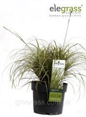 Wistaria Prolifik - Wisteria Prolific P14/H70