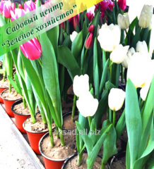 Pot of Tulips by a holiday and flowers by March 8